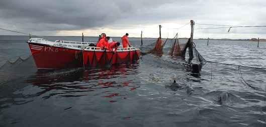 marsopas entre redes de pesca
