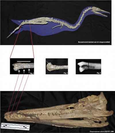mordida de un plesiosaurio a la pata de un Hesperornis