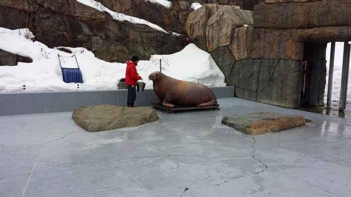 una morsa es pesada en el Acuario de Quebec