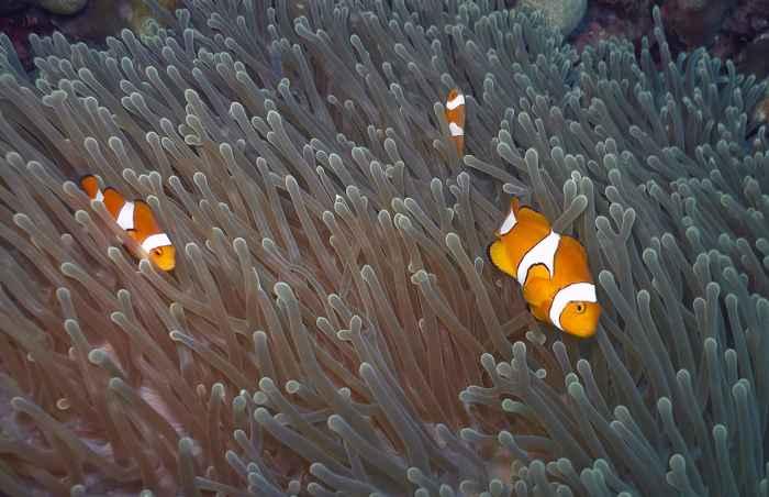 peces Nemo (Amphiprion ocellaris)