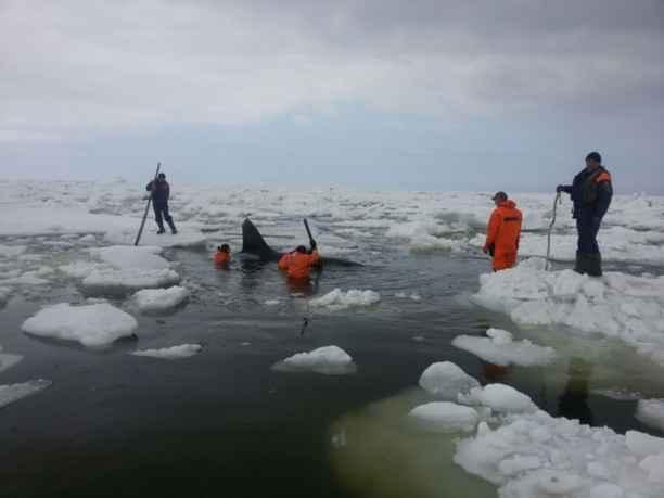orca atrapada entre el hielo en la isla de Sajalín