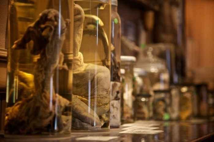 penes conservados en el Icelandic Phallological Museum