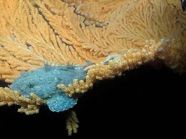 pez escorpión en un coral arbol rojo
