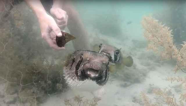 pez leal espera el rescate del amigo atrapado
