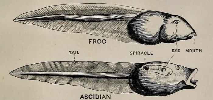 comparqación de un renacuajo con una larva de ascidia