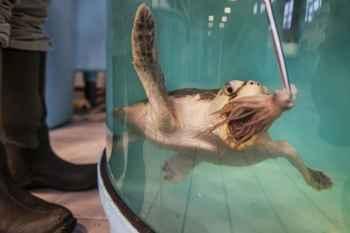 rehabilitación de tortugas marinas