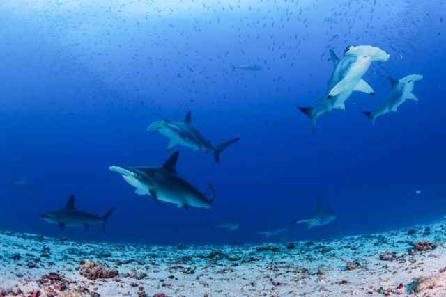 tiburones martillo e las Islas Galápagos