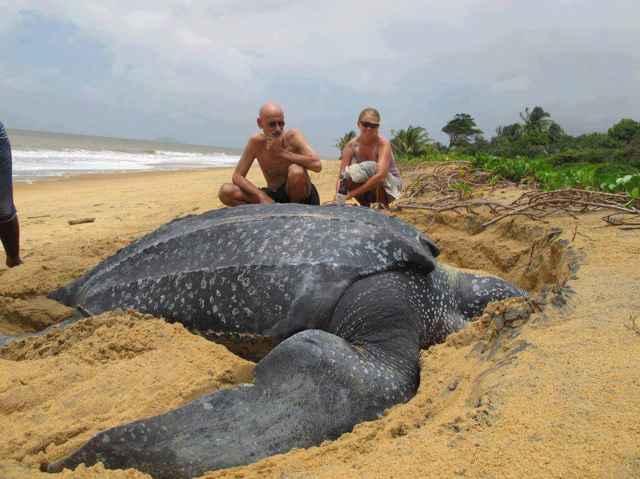 tortuga laúd en una playa