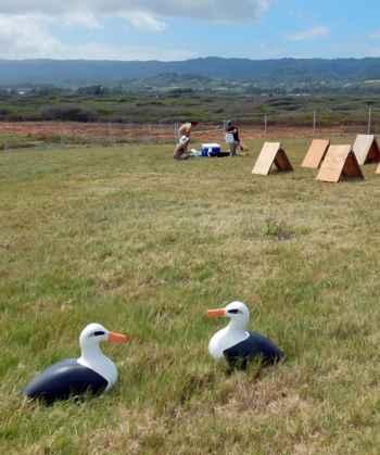 traslado de pollitos de albatros