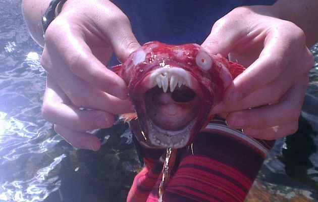 Chorisochismus dentex desecado