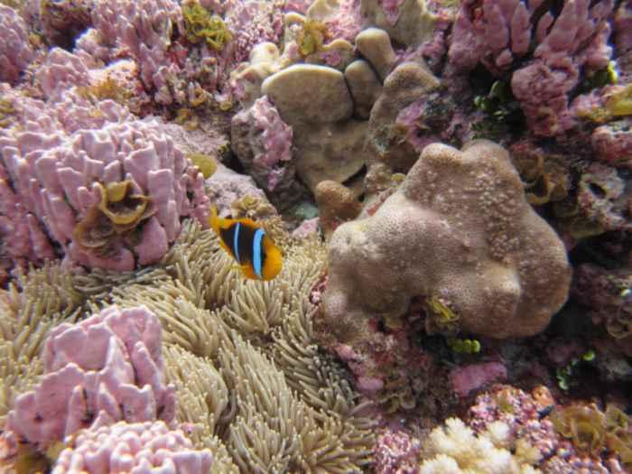 alga coralina rosa