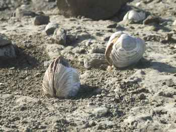 almejas fósiles en la Isla de Seymour