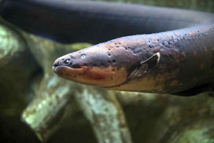 anguila eléctrica