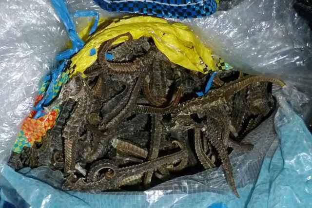 caballitos de mar disecados decomisados en Perú