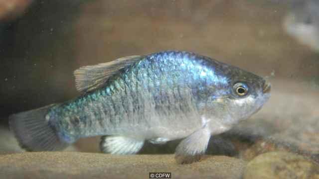 pez cachorrito del agujero del diablo (Cyprinodon diabolis)