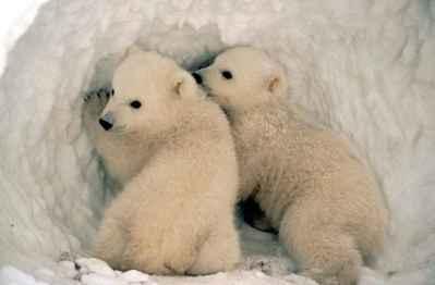 cachorros de oso polar