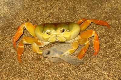 cangrejo amarillo captura una cría de tortuga verde