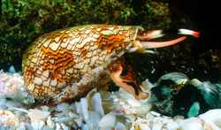 caracol cono textil (Conus textile)