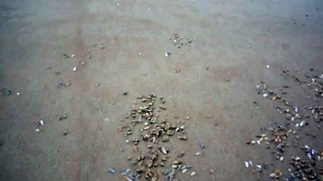 coquinas emergen de la arena para alimentarse