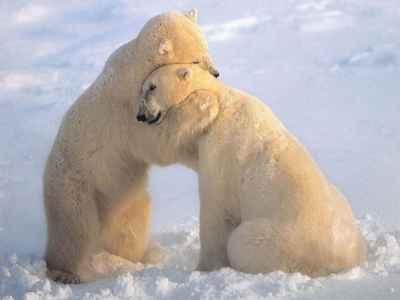 cortejo entre osos polares