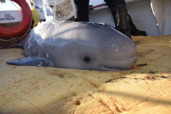 cría de ballena beluga varada en Canadá