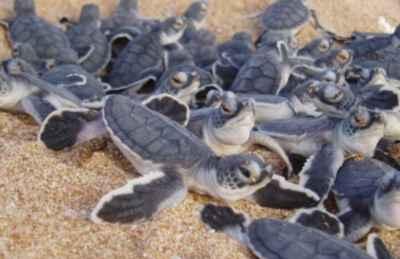 eclosión de tortugas verdes (Chelonia mydas)