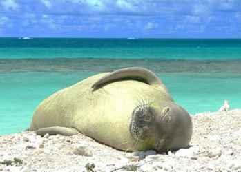 foca monje de Hawái