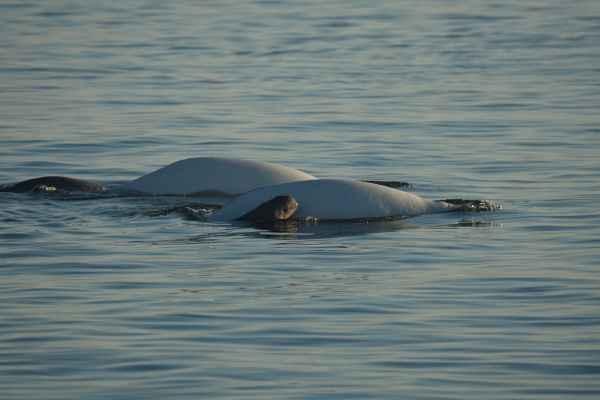 grupo de ballenas beluga