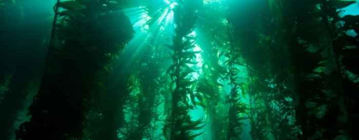 kelp gigante
