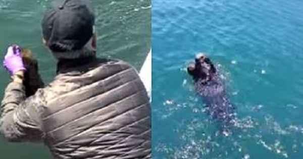lanzamiento de bebé de nutria marina para reunirse con su madre