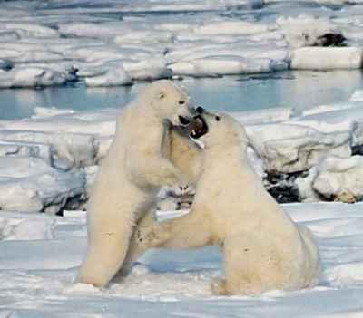 lucha de osos polares por la hembra