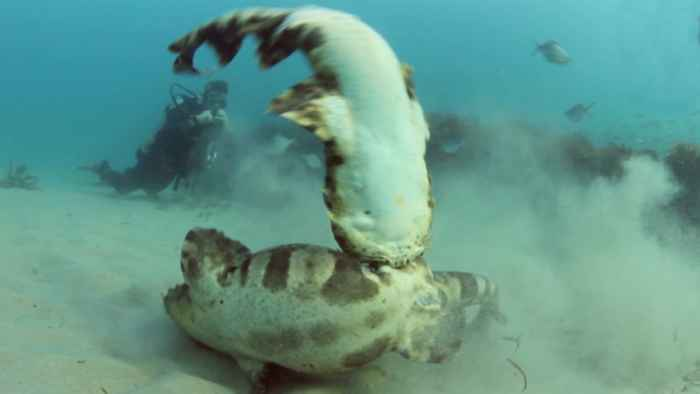 lucha de tiburones alfombra o Wobbegongs
