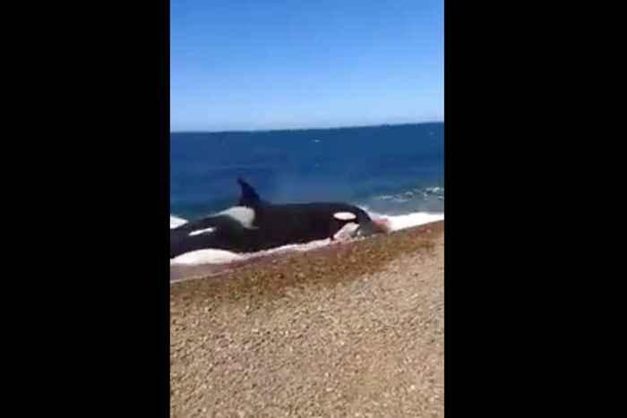 orca encalla en la playa persiguiendo a su presa