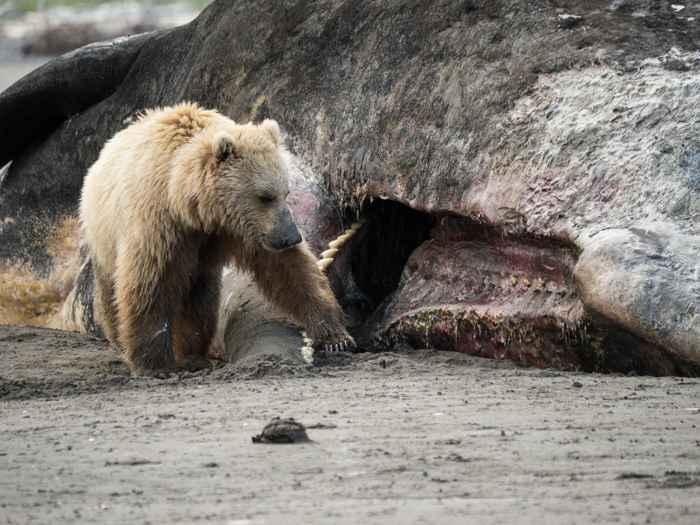 oso pardo se alimenta de un cachalote