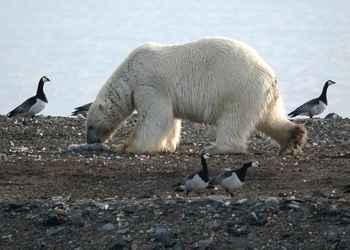 oso polar alimentándose de huevos de aves