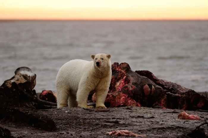 oso polar se alimenta del cadáver de una ballena