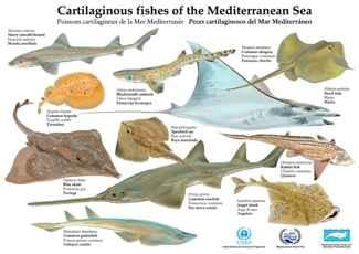 peces cartilaginosos del Mar Mediterráneo