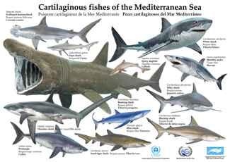 peces cartilaginosos del mediterráneo