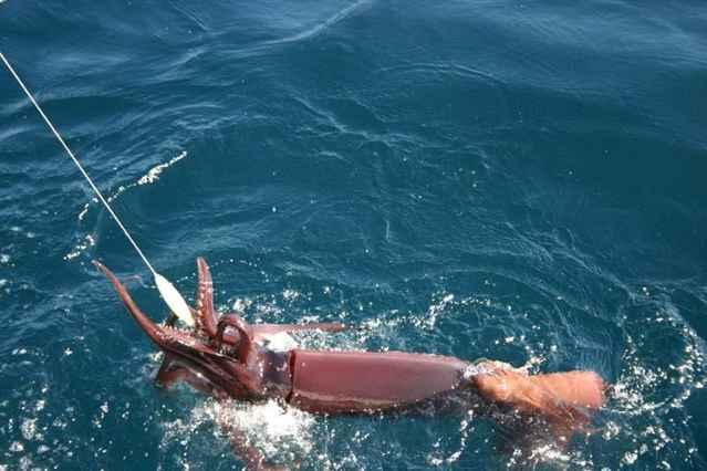 pesca del calamar de Humboldt