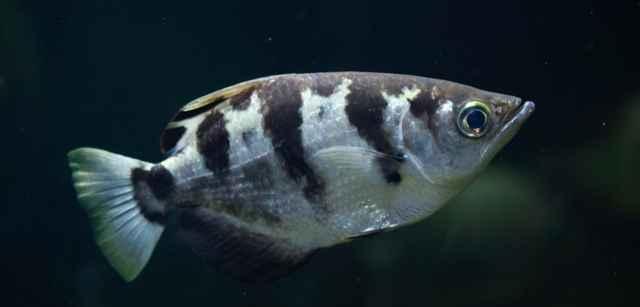 pez arquero (Toxotes chatareus)