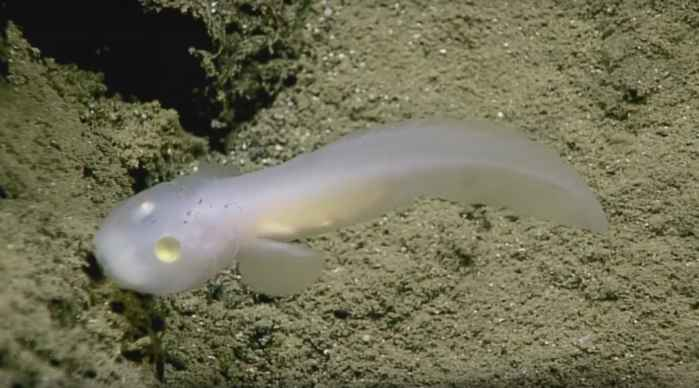 pez fantasma visto en la Fosa de las Marianas