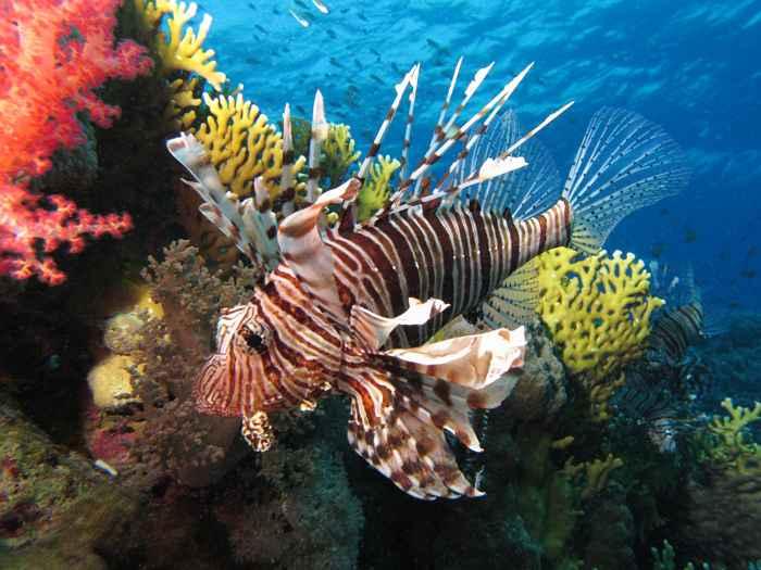 pez león (Pterois miles)