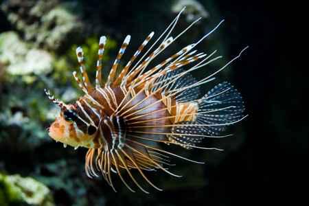 pez león invasor del Mediterráneo