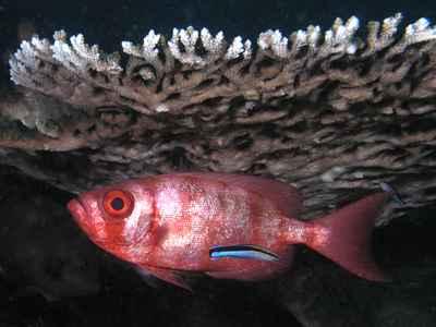 pez limpiador Labroides dimidiatus y un cliente