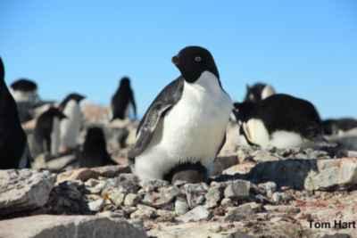pingüino de Adelia