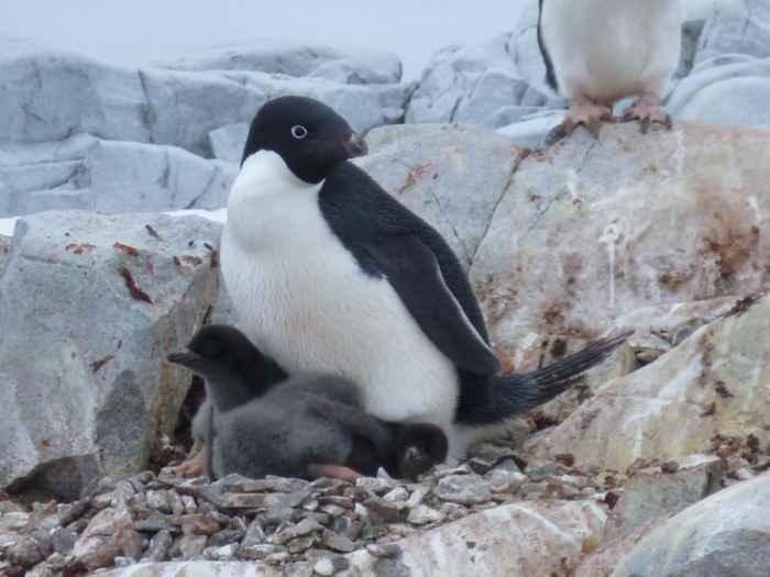 pingüino de Adelia y su cría
