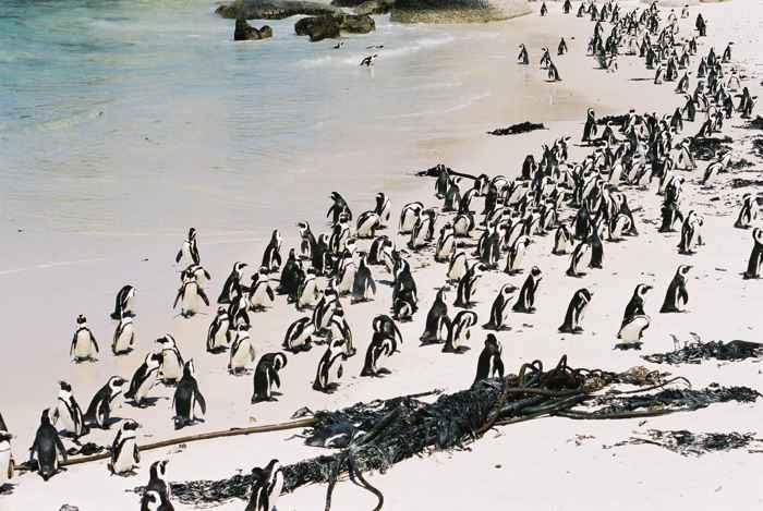 colonia de pingüinos africanos de El Cabo
