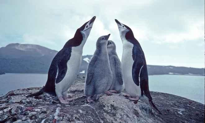 pingüinos de barbijo y sus crías