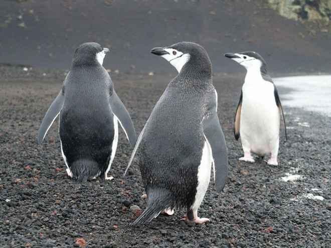 pingüinos de barbijo (Pygoscelis antarcticus)