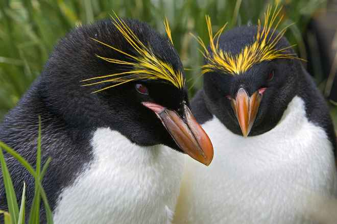 pingüinos macaroni (Eudyptes chrysolophus)